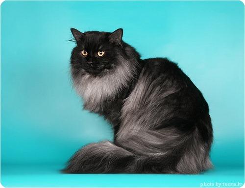 Домашние кошки сибирской породы